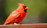 Male cardinal on a wood board