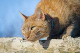 ginger cat hunting