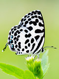 Close up small white butterfly ( Common Pierrot )