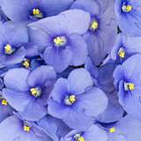Violet flowers.