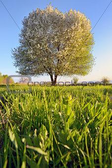 single tree in spring