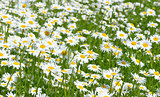 Daisies in the field