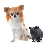 Hairless Guinea Pig and chihuahua