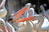 Pelicans fighting Indonesia