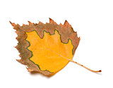 Multicolor autumn leaf of birch on white background