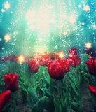 Tulips in Magic Light