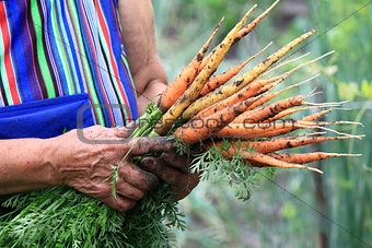 A bunch of young carrots in the hands of an elderly woman