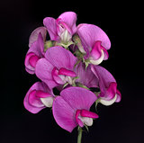 Wild Sweet Pea Flower