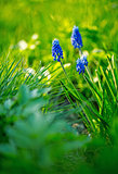 Dark blue flowers Muscari