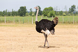 Ostrich in the meadow