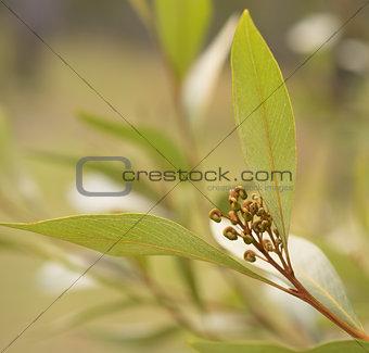 Australian wildflower Grevillea buds