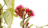Australian Eucalyptus ptychocarpa red flowering bloodwood