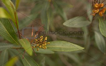 Australian flower Grevillea cats paw floral background
