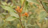 Australian Grevillea flower young inflorescence