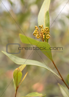Australian native Grevillea flower buds