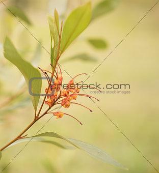 Australian native wildflower Grevillea spider flower