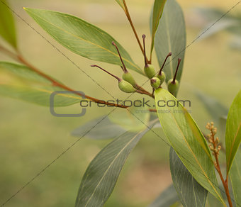Grevillea orange marmalade with green seed pods