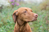 Hungarian Vizsla dog in a field.