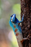 Blue head tree lizard,the local lizard of Thailand