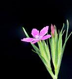 Deptford Pink wildflower