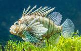 Pterois volitans, Lionfish