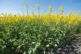 rapeseed crop closeup