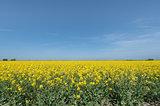 rapeseed crop