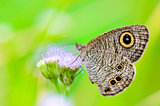 "Close up of a grey-brown butterfly with ""eye"" spots on its wings"