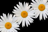 white daisy against black background