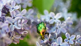 Green bright bug covered with pollen