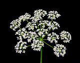 Queen Anne's lace wildflower