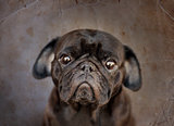 Black cute male pug on dark backgroundpug