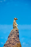 Meerkat on the look-out