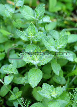 Beautiful delicious green mint