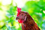 Portrait of a curious chicken on a grass
