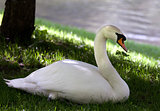 Mute swan on grass under shadow of tree