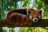 red Panda bear Sichuan China