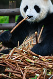 giant panda bear Sichuan China