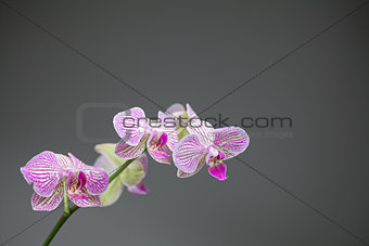 Five white orchids flowers with pink stripes