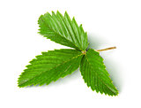 Wild strawberry leaf