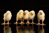 Little Yellow Chickens