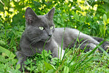 Gray cat lying on the grass