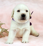 labrador puppy on a pink background