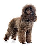 brown poodle
