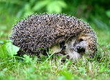 thick hedgehog