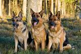 Tree Germany shepherds sitting on a grass in a wood