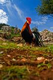 free range rooster in a field