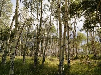 Aspen tree forest.