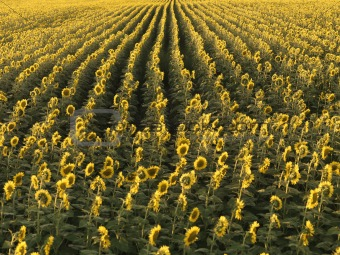 Agricultural sunflowers.