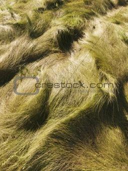 Wavy grass.